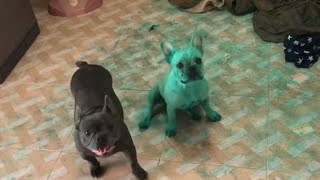 Lady Surprised To Find Two Bright Green Bulldogs In Her Kitchen