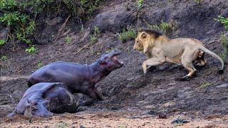 Смейтесь в самые веселые и хаотичные моменты 24 Расслабляющие моменты Видео из животного мира