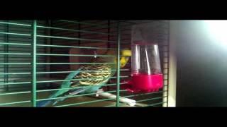 Пение самца волнистого попугая [HD]