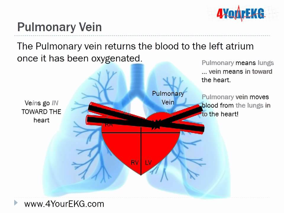 EKG Lesson 3 The Basics Cardiac Anatomy and Physiology - YouTube
