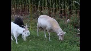 Koza karpacka vs tryk fryzyjski