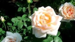 видео Что лучше посадить рядом с гортензией в саду