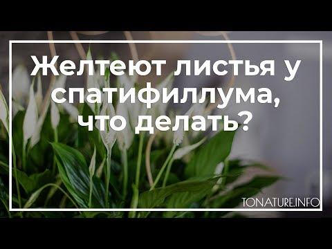 Желтеют листья у спатифиллума, что делать? | toNature.Info
