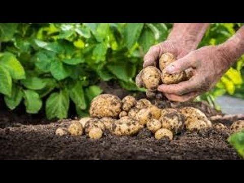 Cartoful Esential in Hrana Zilnica, Stimuleaza Memoria si Multe Alte Beneficii