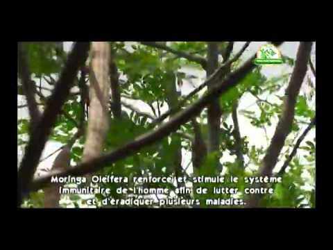 Pure Moringa Oleifera