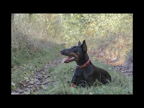 ***How to Potty Train a Doberman Pinscher Puppy**FREE Mini Course**It Works***