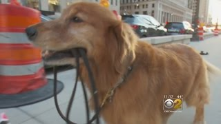 Chicago Dog Walks Himself