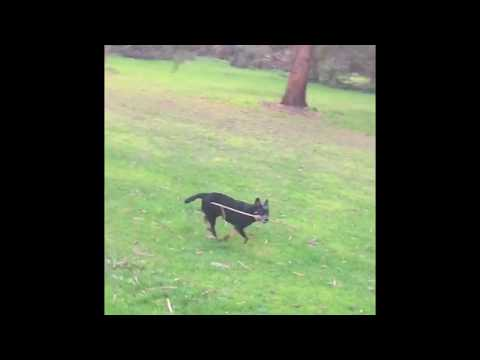 Australian Cattle Dog Running side and front view slow Motion or blue heeler pup