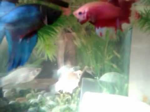 Male Betta Fish Together