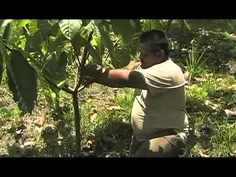 TCGA Belize - Organic & Fairtrade Cacao