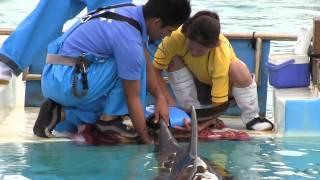 沖縄県の海洋博公園にいるイルカの「フジ」に世界初の人工尾びれを装着...