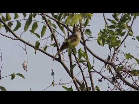 Dusky-capped Flycatcher Calling & Sitting in Tree Pedernales Falls State Park