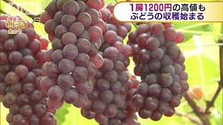 山梨県では早くもブドウの収穫が始まりました。 15日から収穫が始まった...