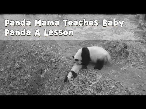 Panda Mama Teaches Baby Panda A Lesson   iPanda