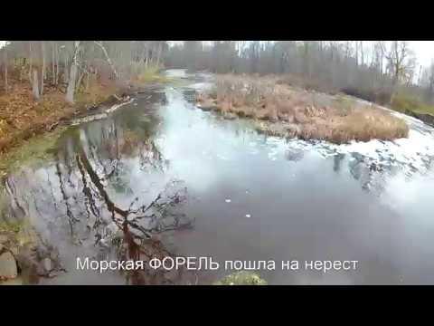 Морская ФОРЕЛЬ пошла на нерест