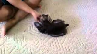 8 Week Old Miniature Schnauzer Chance Does Sit, Down, And Roll Over Training