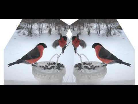 Снегири. Синицы. Птицы лесные. Кормушка. Как сделать кормушку для птиц. Какие бывают снегири
