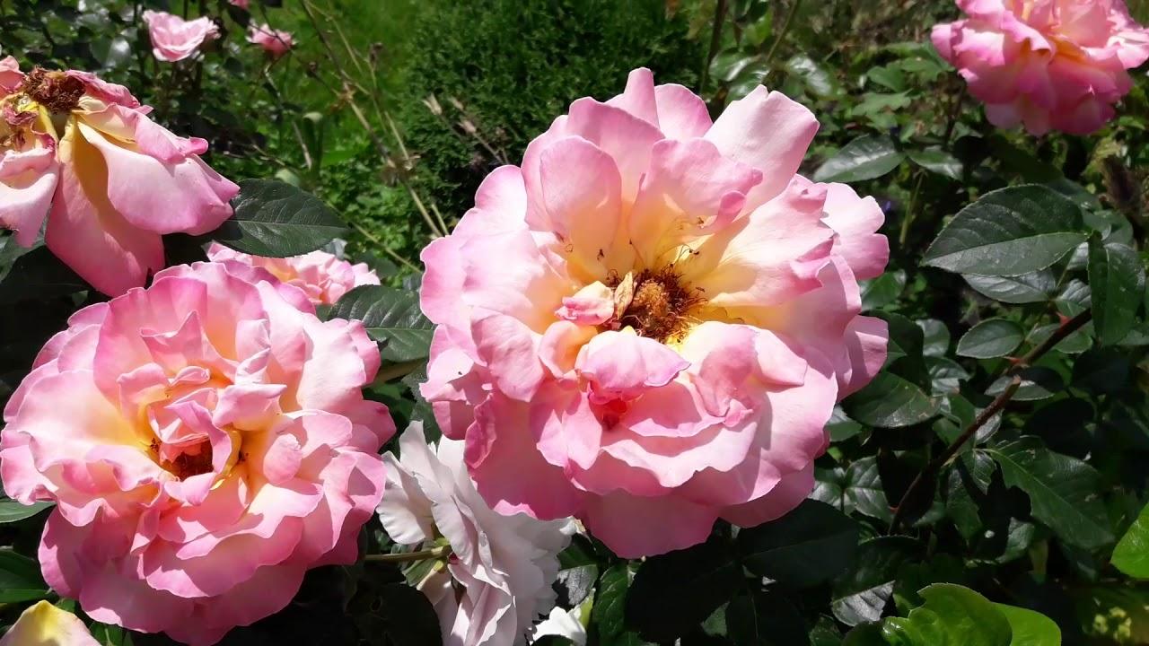 Наша дача 26 июня.Расцвели розы  и другие цветы июня.