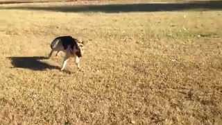 11 Year Old Retired Racing Greyhound Plays With German Shepherd