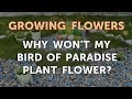 Why Won T My Bird Of Paradise Plant Flower Klubburung(.mp3 .mp4) Mp3 - Mp4 Download