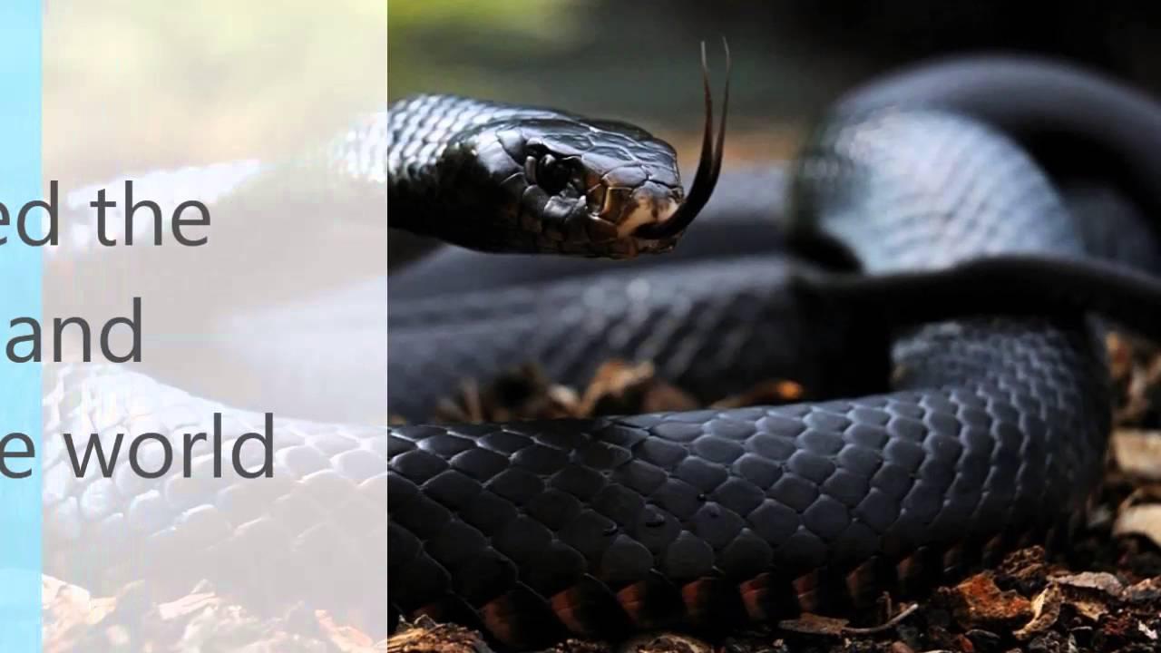 The black mamba snake bite