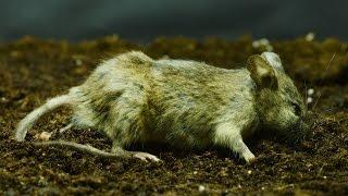 Mouse eaten till bones Timelapse | XO artworks