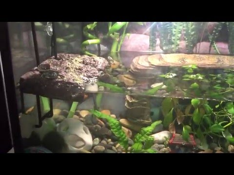Map and Painted turtle hatchling Tank