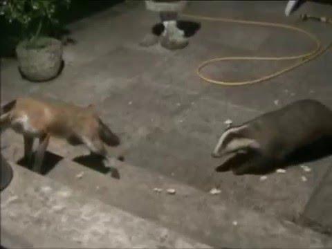 Badger Vs Fox