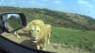 Driving Through the Lion Park