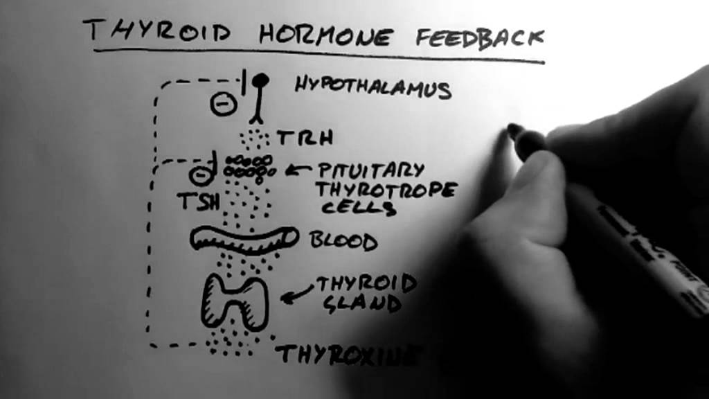 Thyroid Hormone 2 Feedback Youtube