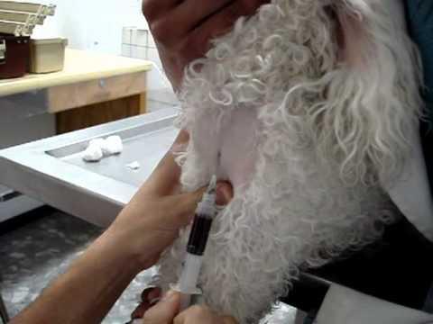 Obtención de muestra sanguínea de yugular en perro - YouTube