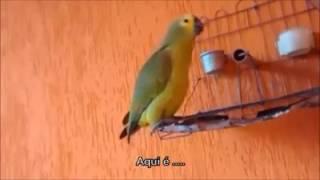 Papagaio dos palavrões
