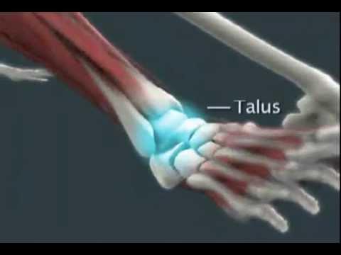 Anatomy Of An Ankle Sprain Youtube