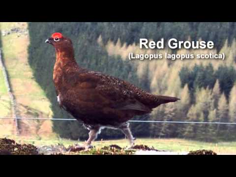 Grouse ~ Red Grouse Bird Call