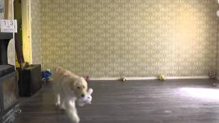 Ally The Golden Retriever Poodle Mix Training Obedience.  B Set74 2015 Rep1
