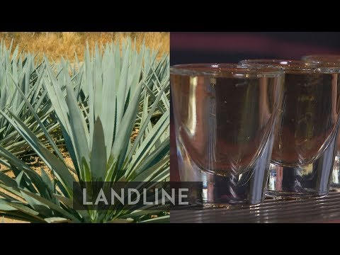 Mexican Wave: The sugar company growing agave for green energy | Landline