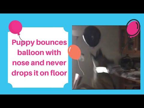 Funny dog bounces balloon on nose