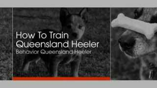 How To Train Queensland Heeler