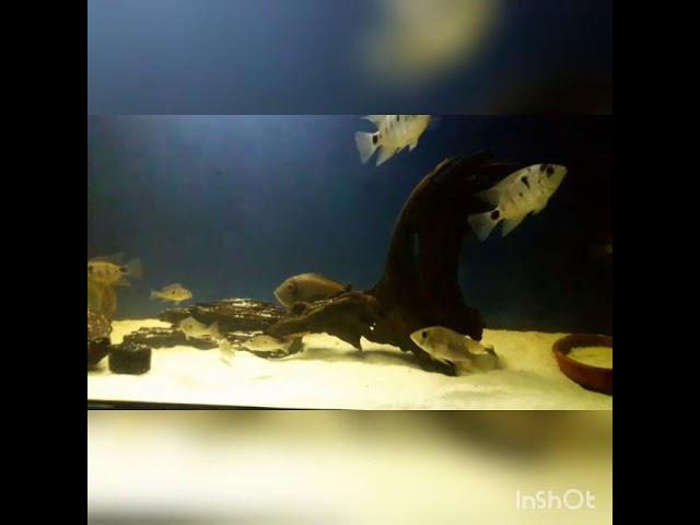 Vieja, Geophagus / American Cichlids
