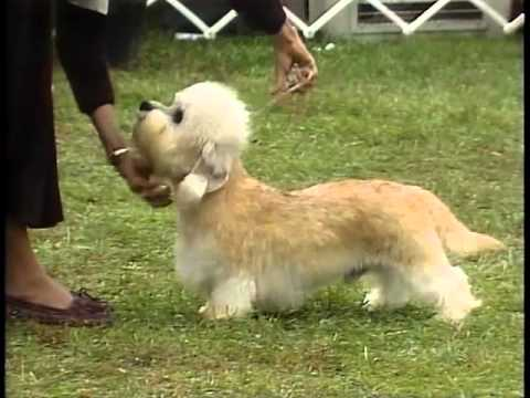Dandie Dinmont Terrier - AKC Dog Breed Series