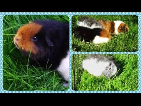 Guinea Pigs Outside for the First Time! | Squeak Dreams