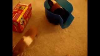 Potty Trained Guinea Pigs