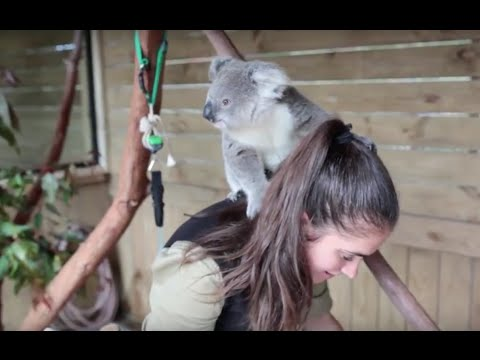 The moment this baby koala climbs up and cuddles cameraman #2  Additional Footage