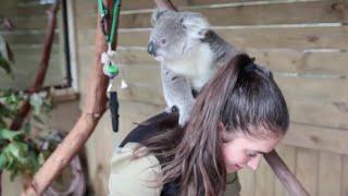 だっこ大好き赤ちゃんコアラ、お姉さんにもぬいぐるみにもハグ
