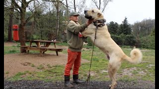 Anatolian shepherd | Turkish Kangal dogs.