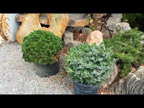 Карликовые хвойные в Pond & Garden Nursery в Сономе