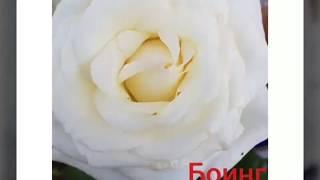 фотообзор популярных роз с названиями сортов. Май, июнь 2018