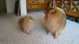 "Pomeranian ""twins"" Barking Contest"