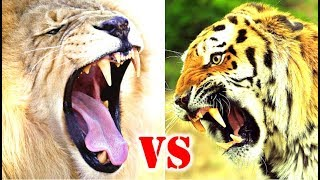 Lion Vs Tiger Who Would Win?