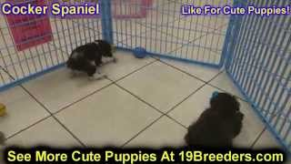 Cocker Spaniel, Puppies, For, Sale, In, Baton Rouge, Louisiana, La, Minden, West Monroe, Luling, Cro